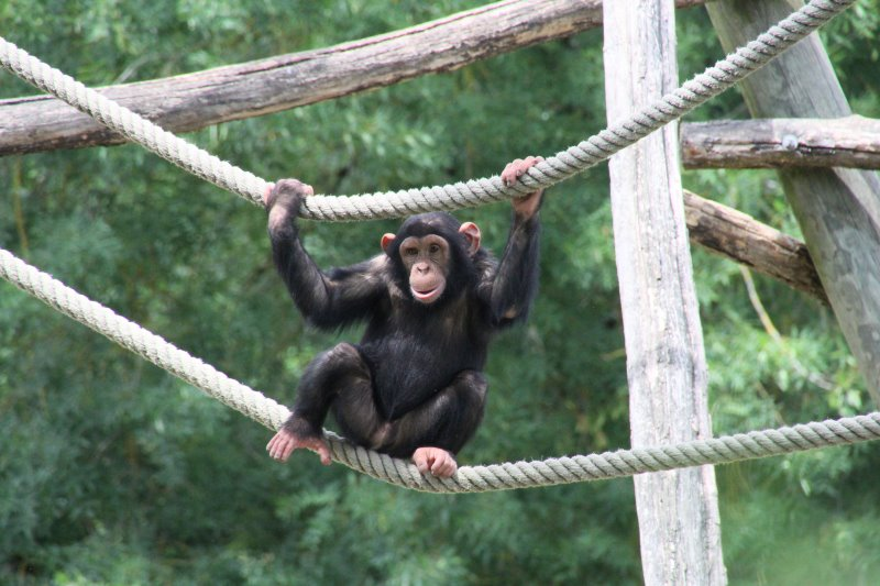 Chimpanzé - zoo de Beauval